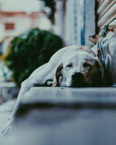 Slapende hond op de stoep