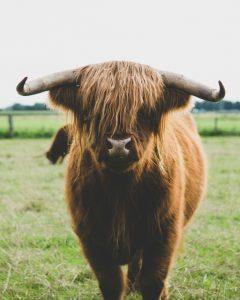 Deze langharige koe wordt er zeker gelukkiger van als jij vegan wordt.